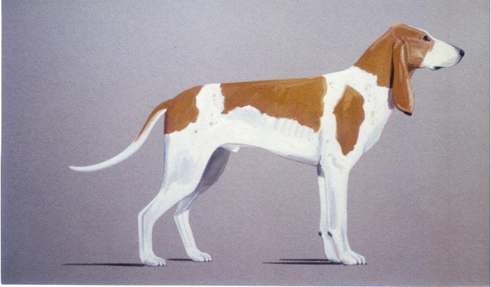 Schweizer Laufhund Chien Courant Suisse