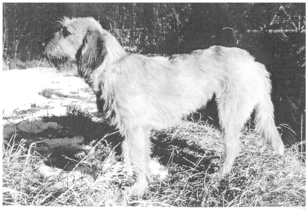 фото собаки породы штирийская гончая