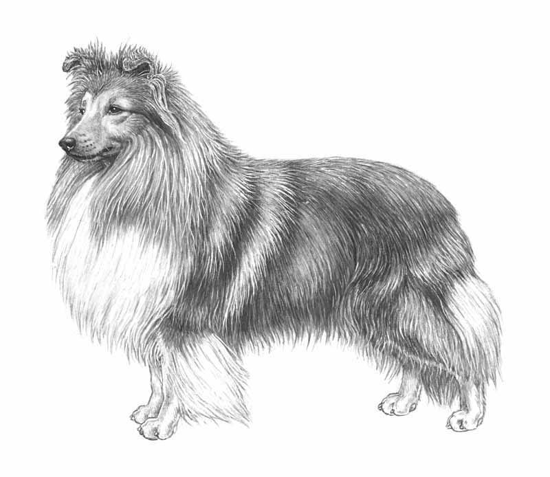 Shetland Sheepdog Breed Standard SHETLAND SHEEPDOG